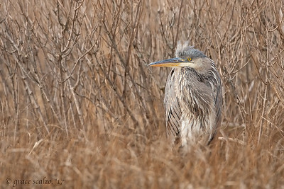 Great Blue Heron - Winter scene