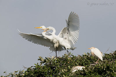 Great Egret Juvenile begging from parent
