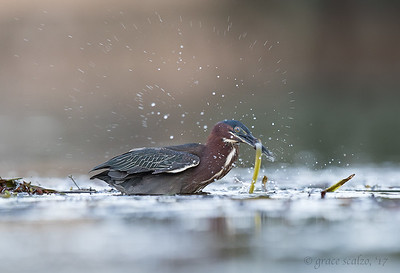 Green Heron looking for prey