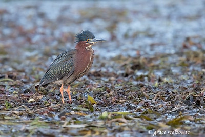 Green Heron on Pond Vegetation