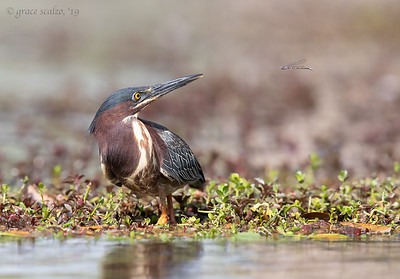 Green Heron and Damselfly
