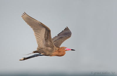 Reddish Egret Flying
