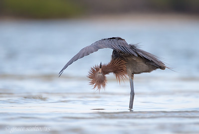 Reddish Egret Upside Down