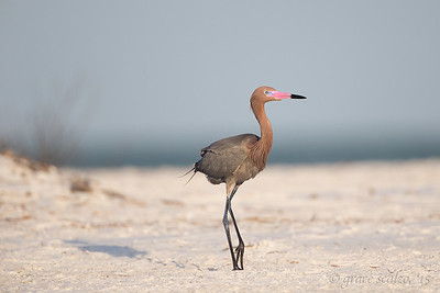 Reddish Egret on the Beach
