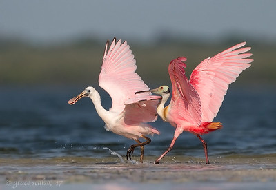 "Roseate spoonbill and juvenile ""A little discipline"""