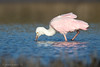 Roseate spoonbill foraging