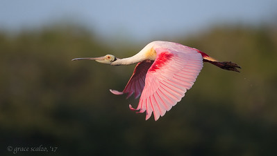 Roseate Spoonbill flying