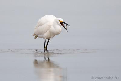 Snowy Egret with Prey