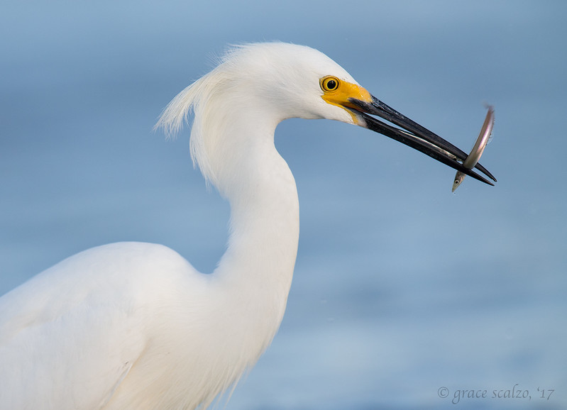 Snowy Egret with Sand Eels (Look closely!)