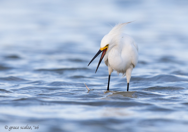 Snowy Egret and Sand Eel