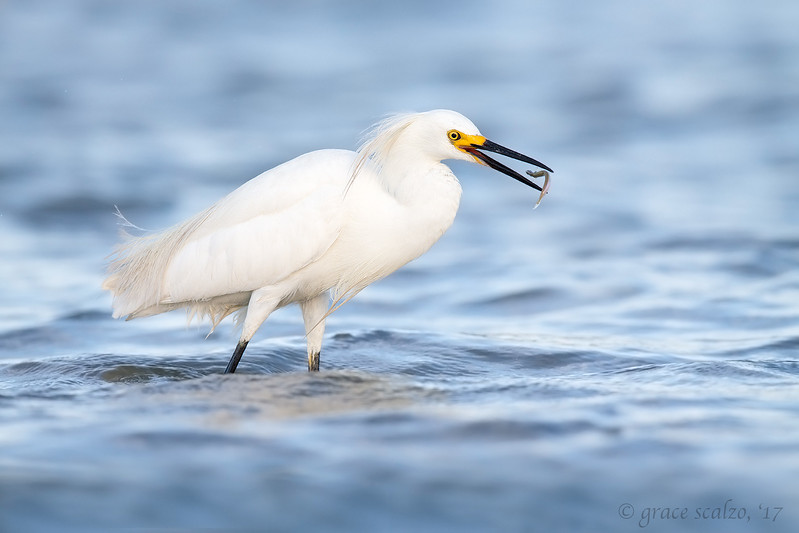 Snowy Egret with Sand Eel