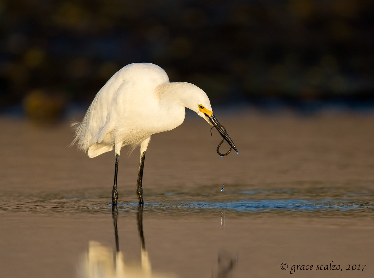 Snowy Egret with Pipe Fish