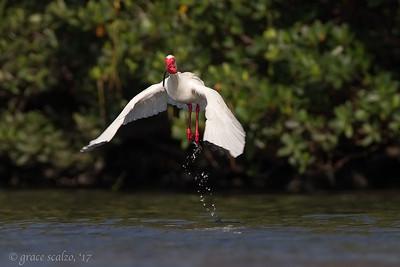 White Ibis after bath leap (Breeding plumage)