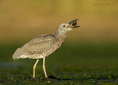 Yellow-crowned night heron - juvenile