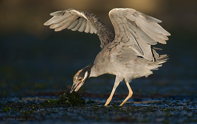 Yellow-crowned Night Heron Foraging