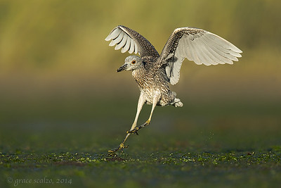 Yellow-crowned Night Heron Landing
