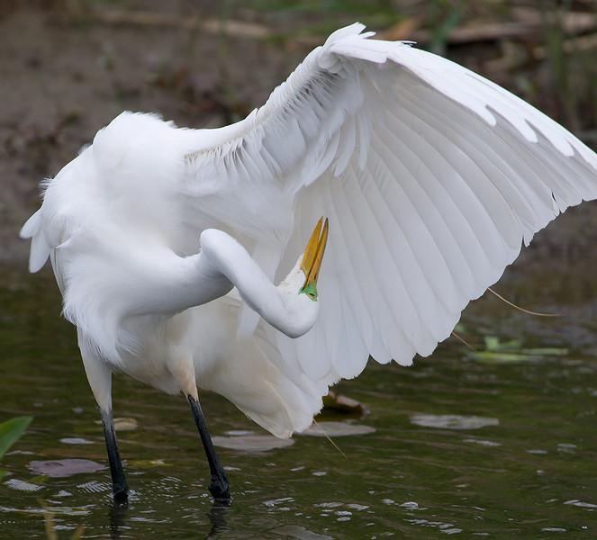 Great Egret preening, Magee Marsh Wildlife Area