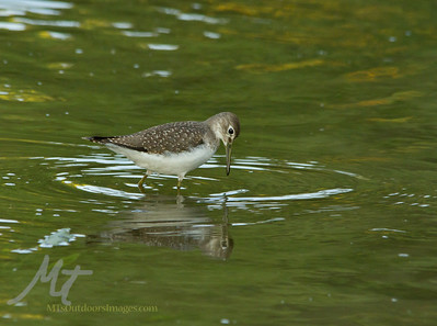 Solitary Sandpiper at Purgatory Creek