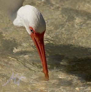 White Ibis at Ft. Myers Beach FL