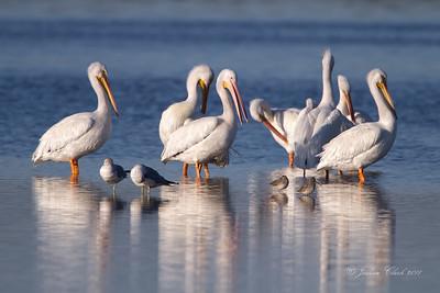 American White Pelican Ding Darling Wildlife Refuge, Floirda