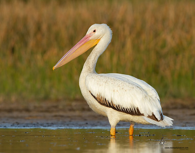 American White Pelican Fort Myers, Florida