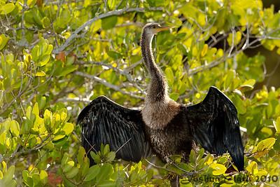 AnhingaMerritt Island Wildlife Refuge, Florida