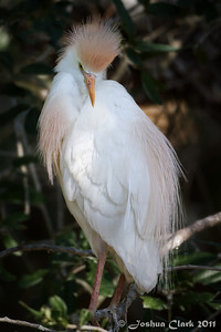 Male Cattle Egret, breeding plumage St. Augustine Natural Rookery, Florida