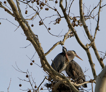 Great Blue Herons, courtingBathe Heron Rookery, Ohio