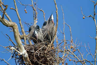 Pair of Great Blue HeronsBathe Heron Rookery, Ohio