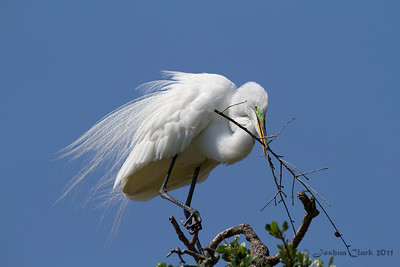 Great Egret St. Augustine Natural Rookery, Florida