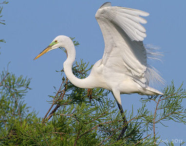 Male Great Egret, breeding plumage St. Augustine Natural Rookery, Florida