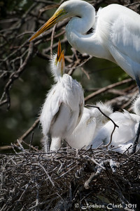 Great Egret and juvenile Egret St. Augustine Natural Rookery, Florida