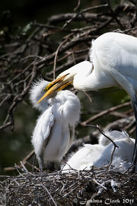 Great Egret feeding juvenile Egret St. Augustine Natural Rookery, Florida