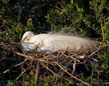 Female Great Egret, breeding plumage St. Augustine Natural Rookery, Florida