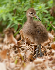 Baby Limpkin Indian River County, Florida