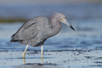 Little Blue Heron San Carlos Bay Bunche Beach Preserve, Florida