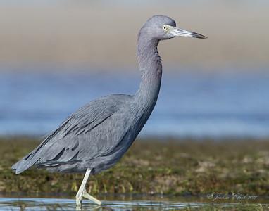 Little Blue Heron San Carlos Bay Bunche Beach Preserve, Florida