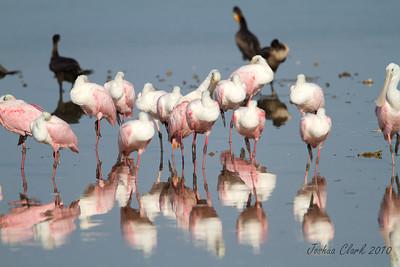 "Rosette SpoonbillsJ.N. ""Ding Darling"" Wildlife Refuge, Florida"