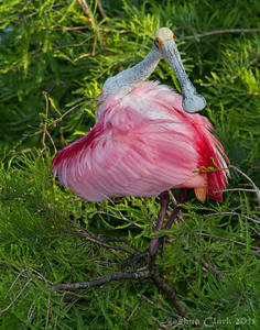 Rosette Spoonbill St. Augustine Natural Rookery, Florida