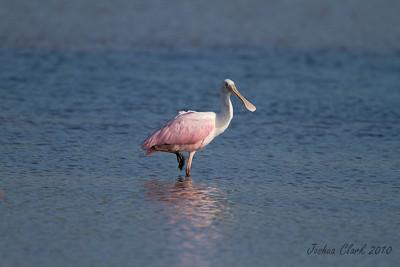 """Rosette SpoonbillJ.N. """"Ding Darling"""" Wildlife Refuge, Florida"""