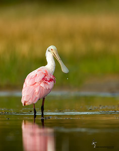 Roseatte Spoonbill Fort Myers, Florida