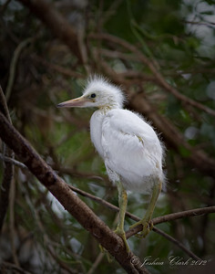 Baby Snowy Egret Indian River County, Florida