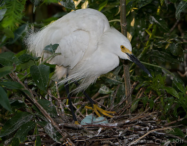 Female Snowy Egret, breeding plumage St. Augustine Natural Rookery, Florida