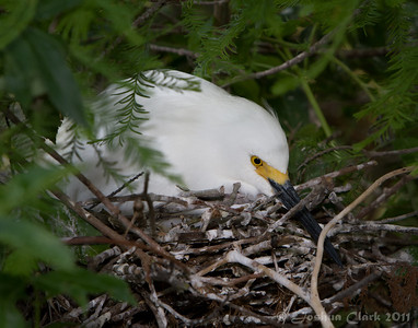Female Snowy Egret on nest St. Augustine Natural Rookery, Florida