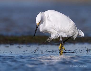 Snowy Egret San Carlos Bay Bunche Beach Preserve, Florida