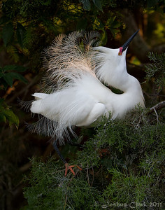 Male Snowy Egret, courtship display St. Augustine Natural Rookery, Florida