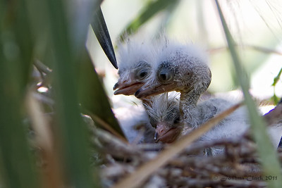 Baby Snowy Egrets St. Augustine Natural Rookery, Florida
