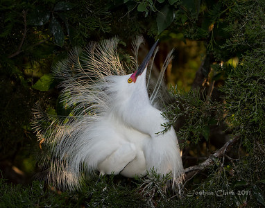 Male Snowy Egret, breeding plumage St. Augustine Natural Rookery, Florida