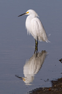 "Snowy Egret J.N. ""Ding Darling"" Wildlife Refuge, Florida"