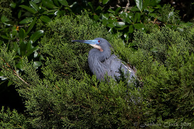 Male Tri-Colored Heron, breeding plumage St. Augustine Natural Rookery, Florida